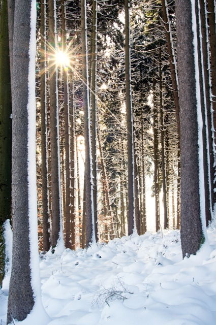 Sunburst in snowy Spruce Forest, Ice cold Morning